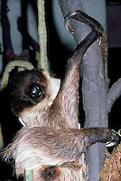 Linnaeus's or Linné's Two-Toed Sloth (Choloepus didactylus) aka Southern Two-Toed Sloth