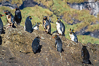 endangered northern rockhopper penguins, Eudyptes moseleyi, covered in spilled fuel oil from the wreck of the MS Oliva, a bulk carrier, beached on Nightingale Island due to human navigational error, Tristan da Cunha, South Atlantic Ocean, More than 800 tons of fuel oil spilled from the ship and coated some 20,000 endangered northern rockhopper penguins.