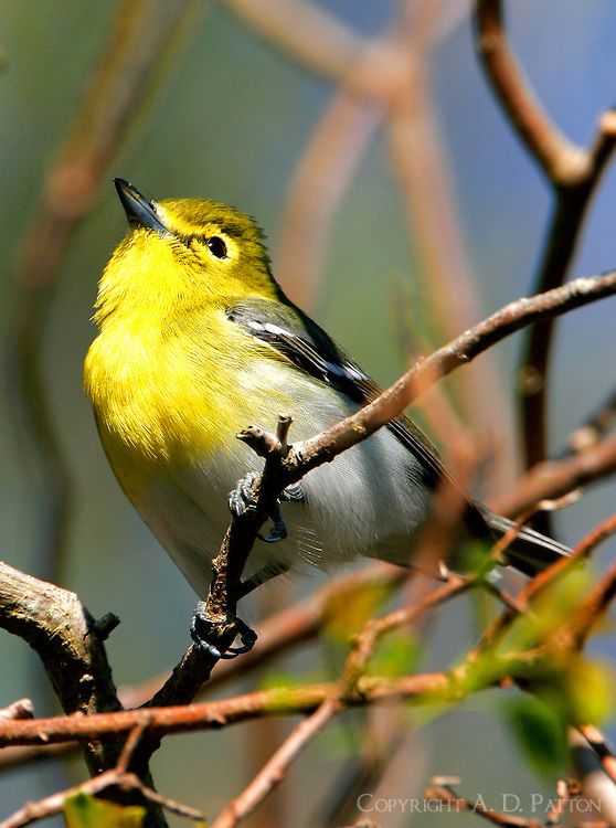Yellow-throated vireo adult