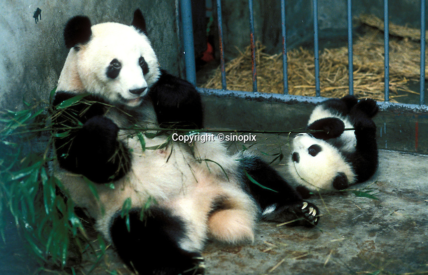 A five month male panda cub, Shi Shi, plays with her 13 year-old mother, Cheng Cheng, in their cage at the Chengdu Panda Breeding and Research Station in Chengdu, Sichuan.