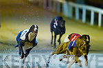 "Sure thats a rabbit?.Close on the tail of Homestead Toy ( No 2), winner of the John ""Killeacle"" Dowling 570 Sweepstake Final at the Kingdom Greyhound Stadium, Tralee, on Saturday evening, were Clounts Felix (No 1) and Homestead Avenue (No 3).."