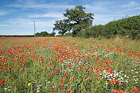 Nectar & pollen field margin - Norfolk, Augaust