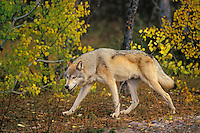 Gray Wolf (Canis lupus) walking through fall colored forest.