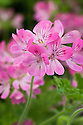 Scented-leaf Pelargonium 'Pink Capricorn', late May.