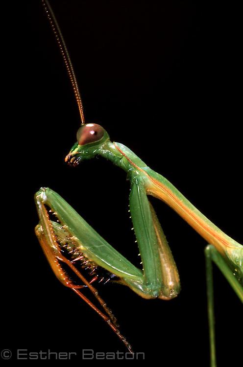 Green Praying Mantis (Fam Mantidae). Southeastern Australia