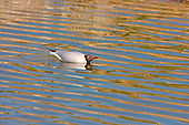 Black headed Gull (Chroicocephalus ridibundus) in courtship. With head drooped low, and the nape of the neck even lower, is a typical courtship posture, and quite comical at times to watch. Swimming on water or land, the Black headed Gull can execute this posture.