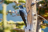 American Three-toed Woodpecker (Picoides dorsalis dorsalis), Rocky Mountain subspecies, female on a tree in Rocky Mountain National Park, Colorado.