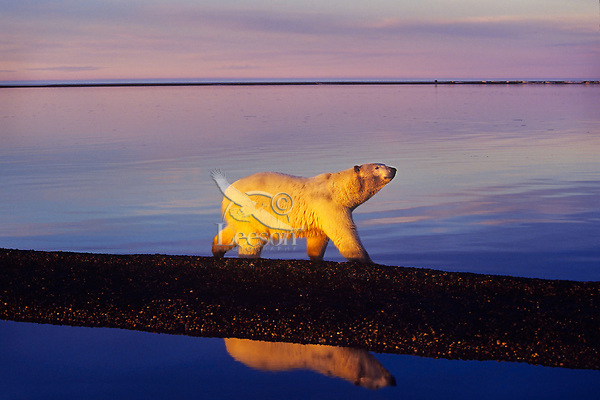 Polar Bear walking along Beaufort Sea, Arctic National Wildlife Range, Alaska.  Sept. evening.