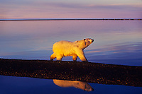 Polar Bear walking along Beaufort Sea, Arctic National Wildlife Range, Alaska.  Sept. evening.