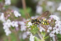Gegürtete Wespenbiene, Wespenbiene, Kuckucksbiene, Wespen-Biene, Kuckucks-Biene, Weibchen, Nomada succincta, Nomada fulvicornis, Yellow-Legged Nomad-Bee, Yellow-Legged Nomad Bee, female, cuckoo bee, cuckoo-bee, Wespenbienen, Kuckucksbienen, cuckoo bees, cuckoo-bees
