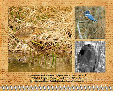 "August of the 2012 Birds of a Feather Calendar.  These three photos are called ""American Bittern walking through grass"", ""Belted Kingfisher on a branch"", and ""Heron - Do You See Me?"" which is a Great Blue Heron (Ardea herodias) lurking behind the tall grass on the banks of a lake at the Ridgefield National Wildlife Refuge in a black and white (B&W) photo format"
