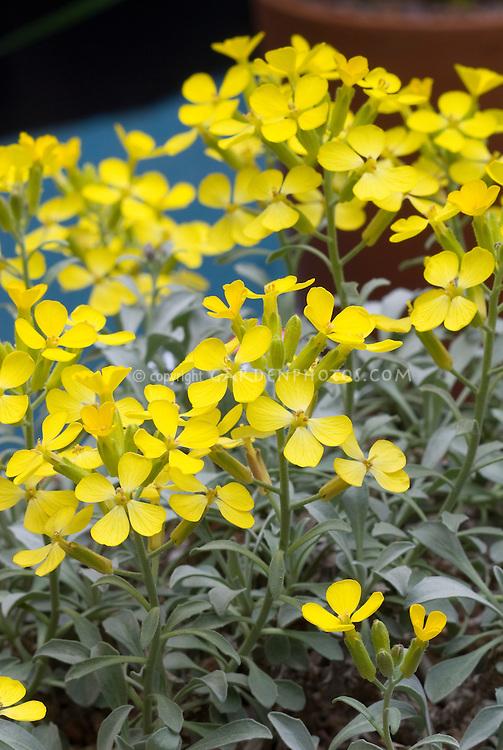 how to grow flowering stocks
