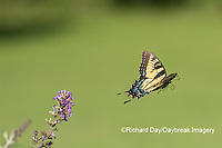 03023-03104 Eastern Tiger Swallowtail (Papilio glaucaus) flying from Butterfly Bush (Buddleja davidii) Marion Co. IL