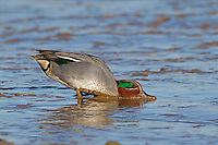 Teal Anas crecca L 34-38cm. Our smallest duck. Forms flocks outside breeding season. Often nervous and flighty. In flight, both sexes show white-bordered green speculum. Sexes are otherwise dissimilar. Adult male has chestnut-orange head with yellow-bordered green patch through eye. Plumage is otherwise finely marked grey except for black-bordered yellow stern and horizontal white line along flanks. Bill is dark grey. In eclipse, resembles adult female. Adult female has mottled grey-brown plumage. Bill is grey with hint of yellow at base. Juvenile is similar to adult female but warmer buff. Voice Male utters a ringing whistle, female utters a soft quack. Status Associated with water. Nests in small numbers beside pools and bogs mainly in N. Locally common outside breeding season on freshwater marshes, estuaries and mudflats.