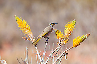 Singing Honeyeater, near Uluru, NT Outback, Australia
