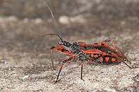 Rote Mordwanze, Zornige Raubwanze, Rhinocoris iracundus, Rhynocoris iracundus, red assassin bug, Reduviidae, Raubwanzen, assassin bugs, conenose bugs