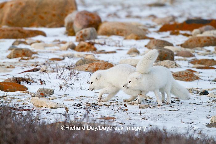01863-01518 Arctic Foxes (Alopex lagopus) Churchill Wildlife Management Area, Churchill, MB