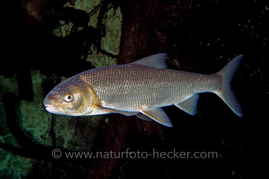 Perlfisch, Rutilus frisii meidingeri, Rutilus meidingeri, Männchen mit Laichausschlag am Kopf