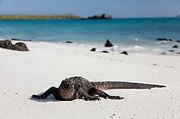 Marine iguana, Gardner beach, Espanola Island, Galapagos Islands, Ecuador.