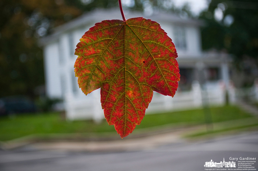 Orange fall maple leaf  in foreground with house in background. Shallow depth of field.