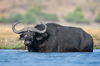 """Big male Cape Buffalo (Syncerus caffer) glares at our boat as he munches on a meal of aquatic plants. The whitish circles around his eyes and his thick """"boss"""" - the fused base of each of his horns - indicate he is an older animal. The horns of the Cape Buffalo form fully when the animal reaches five or six years old but the bosses do not harden until the bull is 8 to 9 years old."""