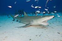 RW2933-D. Lemon Shark (Negaprion brevirostris) resting on the bottom with mouth wide open, allowing fish to clean inside its mouth and gills. Bahamas, Atlantic Ocean.<br /> Photo Copyright &copy; Brandon Cole. All rights reserved worldwide.  www.brandoncole.com