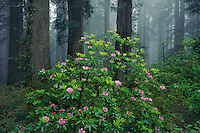 Western rhododendron and coast redwood<br />