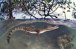 Saltwater crocodile between mangrove roots, split level.Crocodylus porosus