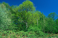 Deciduous Woodland in Spring