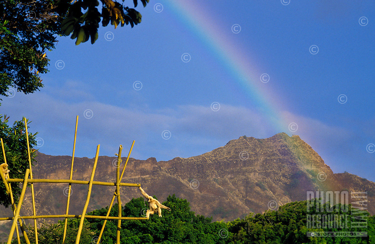Rainbow going over diamondhead taken from the Honolulu zoo with a Patas monkey in the foreground