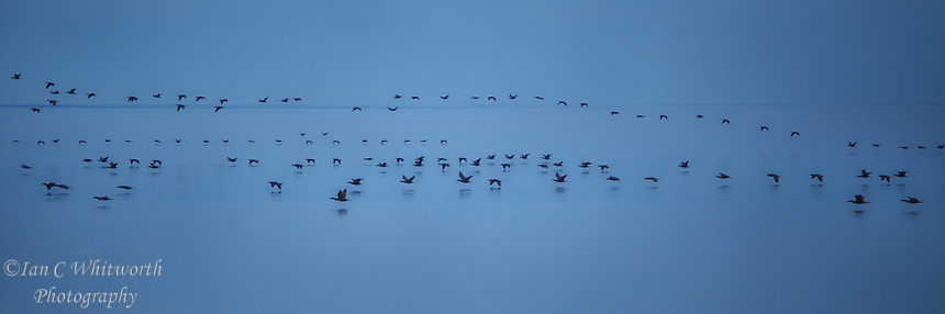 Many loons fly low over Lake Ontario near the mouth of the Rouge River in the morning light.