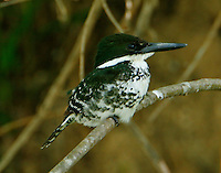 Green kingfisher female on branch. The other half of the breeding pair on the Frio River at Concan.