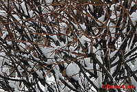 "1229-07tt  Camouflaged Black-capped Chickadee ""In Winter on Bush"" - Parus atricapillus © David Kuhn"
