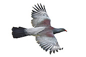 Chatham Islands Pigeon - Hemiphaga chathamensis