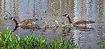 Family of Canada geese swimming on a northern Wisconsin lake.