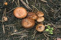 bonfire scalycap<br /> Pholiota highlandensis