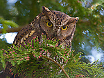 Screech owl, Seattle, Washington