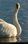 Trumpeter Swan, Close Portrait, Swan Lake, Yellowstone National Park, Wyoming