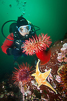 Scuba diver Suelaine Gin  observes a colorful Rose Anemone ( Urticina piscivora ) and Leather Star ( Dermasterias imbricata ) underwateer in Haida Gwaii, British Columbia, Canada.      Model Release
