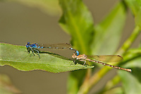 338400009 a wild pair of blue-ringed dancers argia sedula damselflies copulate or mate while perched on a leaf above canon grande creek in dimmit county texas united states