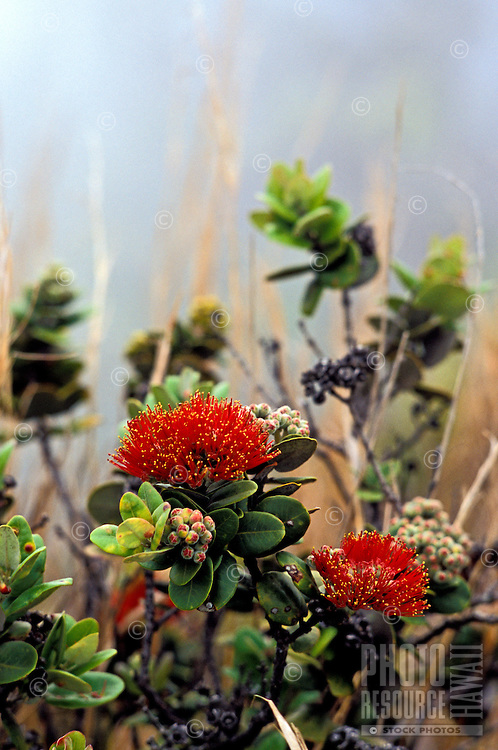 Close-up of red ohia or lehua blossoms, the designated flower of the Big Island of Hawaii. Associated with the volcano goddess Pele, the ohia tree is often the first plant life that blooms after a lava flow.
