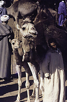 marché au bétail à Marrakech. Un dromadaire avec un petit - Marrakech, Maroc - 1973<br /> <br /> Dromedaries at the Cattle Market in Marrakesh.1973