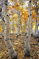 Aspen grove in fall on  Steens Mountain in Southeastern Oregon