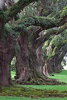 Live Oaks, Quercus virginiana, Oak Alley Plantation, Vacherie, Louisiana
