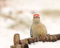Red-bellied Woodpeckers are pale, medium-sized woodpeckers. Their strikingly barred backs and gleaming red caps make them an unforgettable sight.