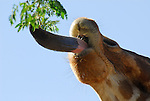 tongue of reticulated giraffe