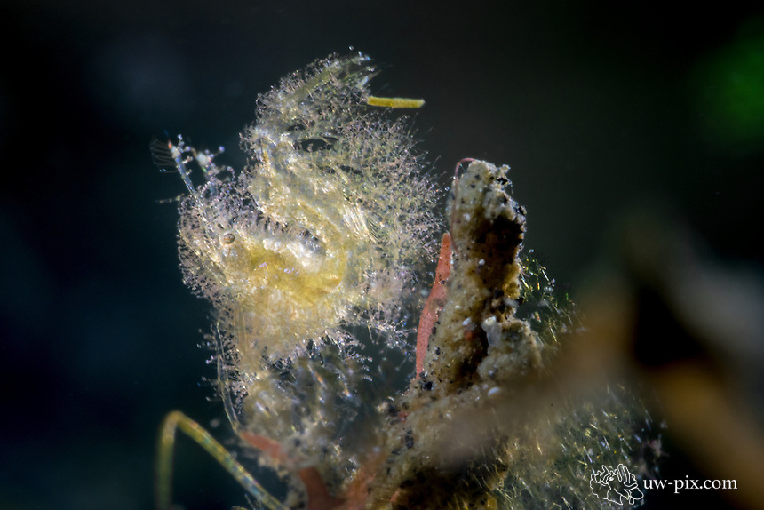 Hairy shrimp backlit