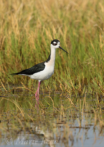 Black-necked Stilt (Himantopus mexicanus) male in breeding plumage, Bear River Migratory Bird Refuge, Utah, USA