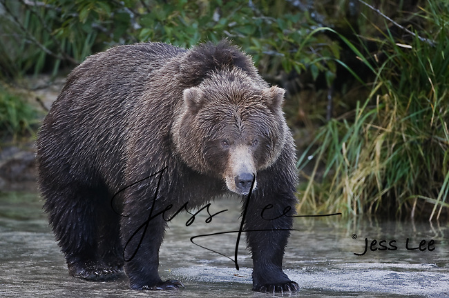 A picture of a coastal brown bear or grizzly in Alaska's Katmai National Park. Grizzly Bear or brown bear alaska Alaska Brown bears also known as Costal Grizzlies or grizzly bears