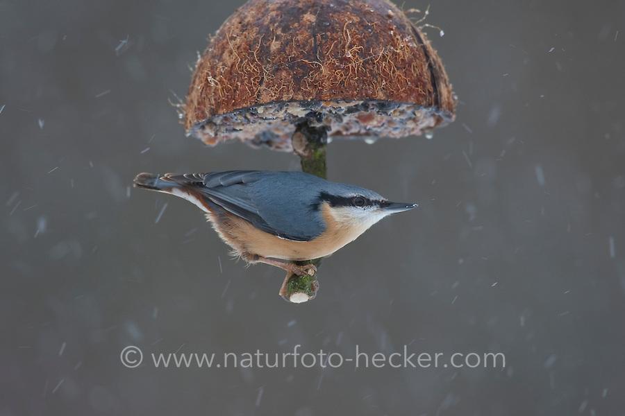 Kleiber, an der Vogelfütterung, Fütterung im Winter bei Schnee, an mit Fettfutter gefüllten Hälfte einer Kokosnuss, Winterfütterung, Spechtmeise, Sitta europaea, Eurasian nuthatch
